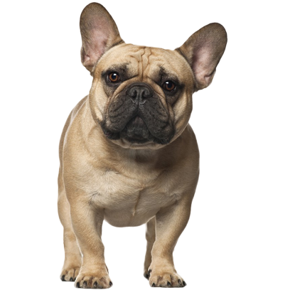 Frenchie Stickers - French Bulldog Pack messages sticker-7