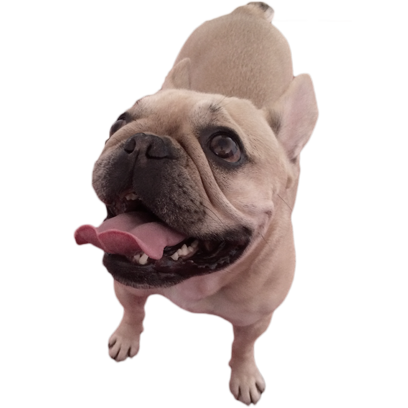 Frenchie Stickers - French Bulldog Pack messages sticker-1