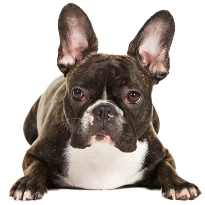 Frenchie Stickers - French Bulldog Pack messages sticker-11