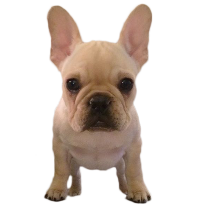Frenchie Stickers - French Bulldog Pack messages sticker-6