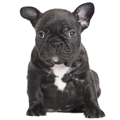 Frenchie Stickers - French Bulldog Pack messages sticker-8