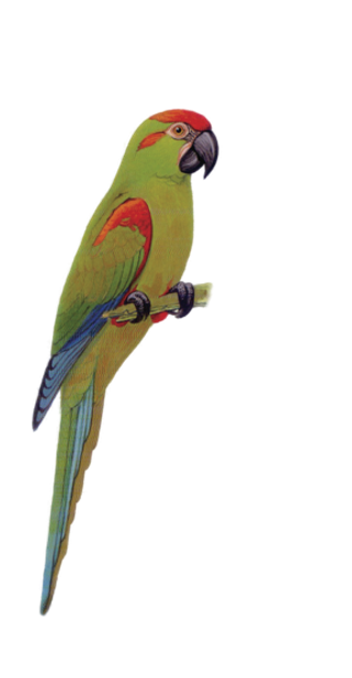Macaw Stickerpack messages sticker-7