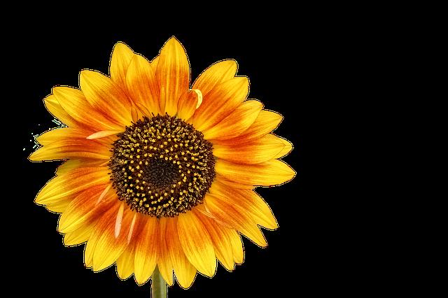 Sunflower Stickers messages sticker-7