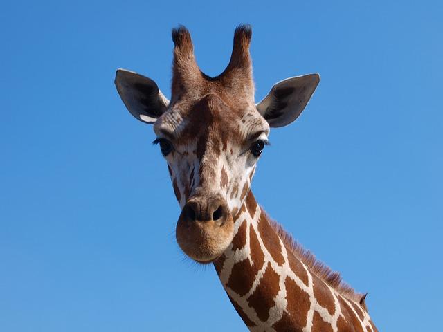 Lotsa Giraffe Stickers messages sticker-4