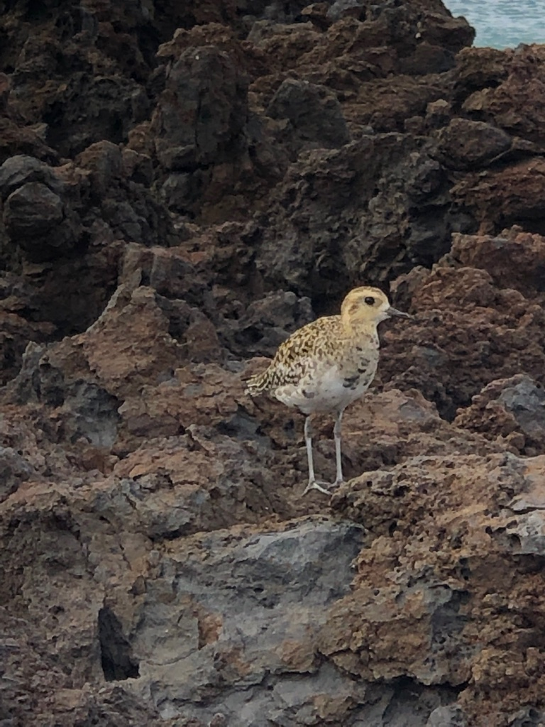 Pacific Golden Plover messages sticker-5