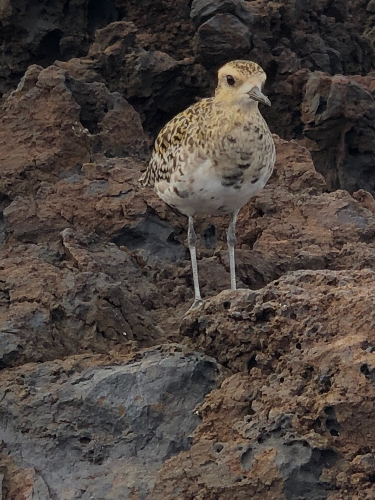 Pacific Golden Plover messages sticker-2