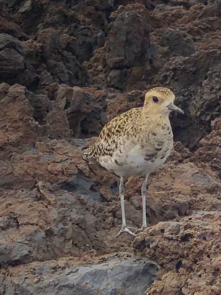 Pacific Golden Plover messages sticker-3