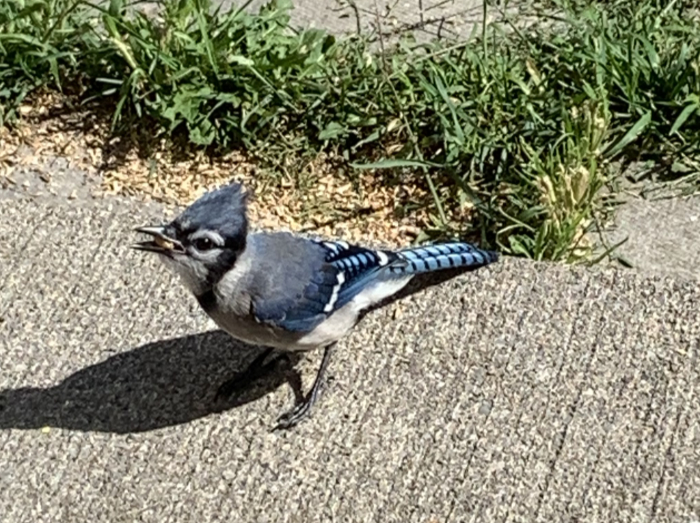 Blue Jay Stickers messages sticker-0