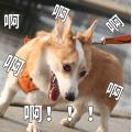 贱萌的柯基表情 messages sticker-0