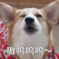 贱萌的柯基表情 messages sticker-1
