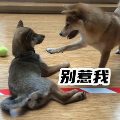 胡麻柴犬 messages sticker-4